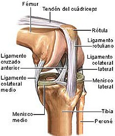 Anatomia normal de la rodilla